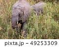 ぞう ゾウ 象の写真 49253309