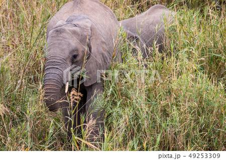 African elephant eating grass. 49253309