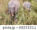 ぞう ゾウ 象の写真 49253311