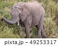 ぞう ゾウ 象の写真 49253317