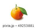 温州みかん 果物 フルーツの写真 49253881