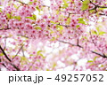 桜 河津桜 春の写真 49257052