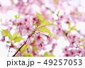 桜 河津桜 春の写真 49257053