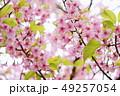 桜 河津桜 春の写真 49257054