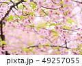 桜 河津桜 春の写真 49257055