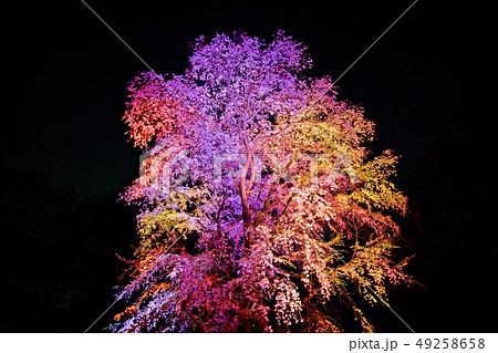 しだれ桜のライトアップ 49258658