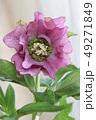 クリスマスローズ 花 植物の写真 49271849