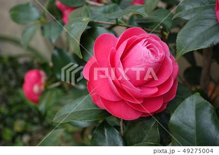 植物 49275004