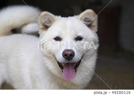 珍島犬 動物 本 49280116