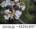 山桜 49291897