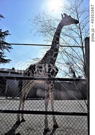 動物園のきりん、群馬サファリパーク 49301667