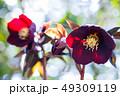 植物 花 蕾の写真 49309119