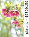 クリスマスローズ 植物 花の写真 49309159