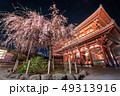 浅草寺のしだれ桜 49313916