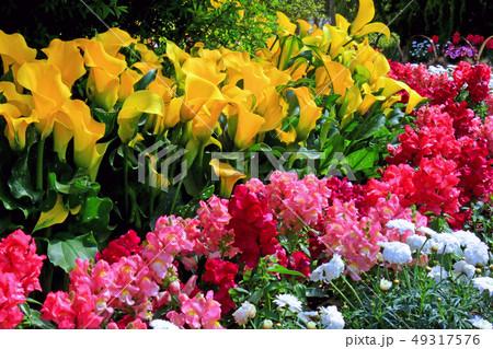 カラーの花 49317576