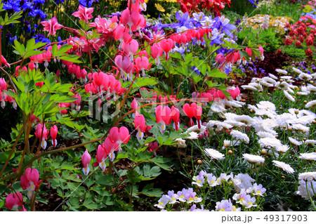 タイツリソウの花 49317903