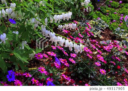 タイツリソウの花 49317905