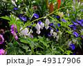 タイツリソウの花 49317906