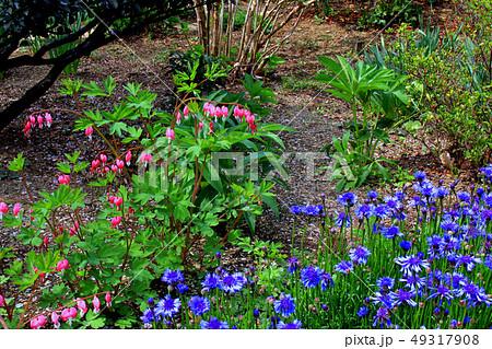 タイツリソウの花 49317908