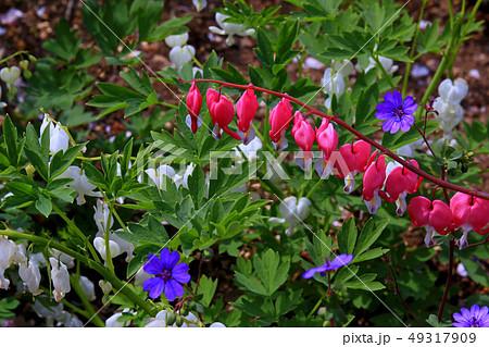 タイツリソウの花 49317909
