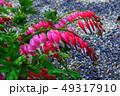 タイツリソウの花 49317910