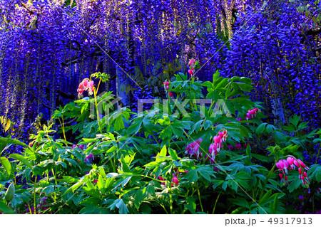 タイツリソウの花 49317913