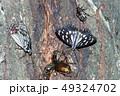 蝶 ゴマダラチョウ アカボシゴマダラの写真 49324702