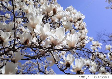 青空に咲く美しい白い木蓮の花 49325901