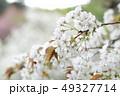 桜 大島桜 花の写真 49327714