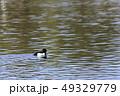 鳥 金黒羽白 池の写真 49329779