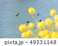 菜の花 花 川の写真 49331148