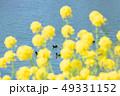 菜の花 花 川の写真 49331152