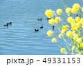 菜の花 花 川の写真 49331153