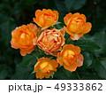 輪になって咲いた薔薇 49333862