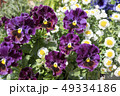 パンジー スミレ科 スミレ属の写真 49334186