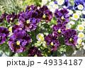 パンジー スミレ科 スミレ属の写真 49334187