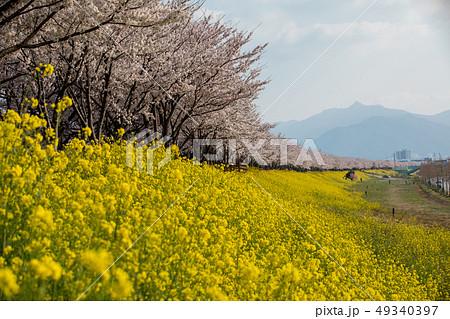 菜の花 桜 花 49340397