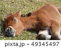 仔馬 子馬 馬の写真 49345497