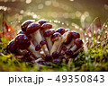 Armillaria Mushrooms of honey agaric In a Sunny 49350843
