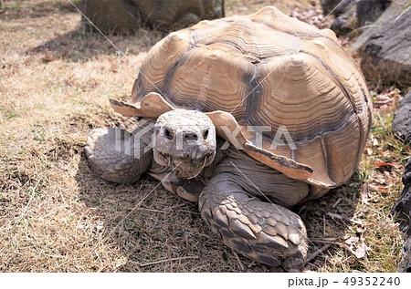 動物園のリクガメ、ケヅメリクガメ、かわいい亀。群馬サファリパーク 49352240