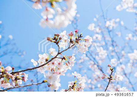 桜 2019 49361657
