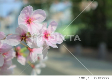 桜の花びら 49365955