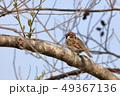 小鳥 鳥 雀の写真 49367136