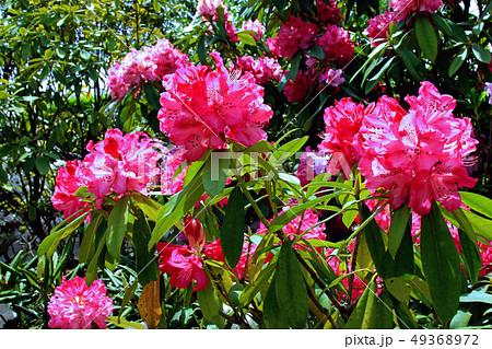 シャクナゲの花 49368972