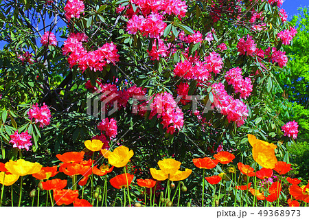 シャクナゲの花 49368973