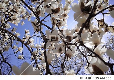 青空に咲く美しい白い木蓮の花、太陽の光がまぶしい 49388777