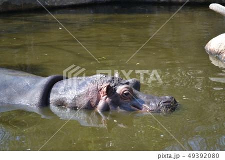 泳ぐカバ 49392080