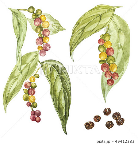 Peppers black hand drawn watercolor illustration. Botanical drawing made by hand with watercolor 49412333