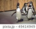 フンボルトペンギン ペンギン 鳥類の写真 49414949