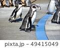 フンボルトペンギン ペンギン 鳥類の写真 49415049